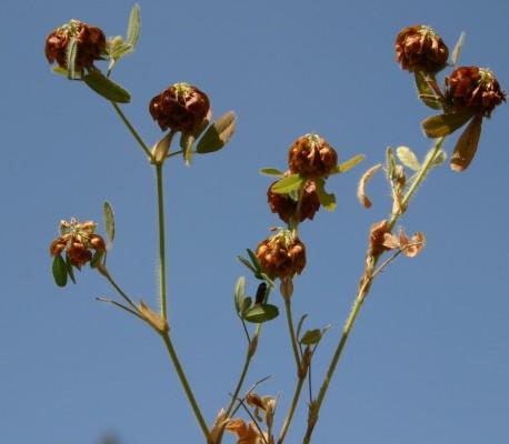 תלתן בואסיה Trifolium boissieri Guss.
