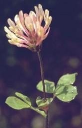 צבע הכותרת לבן-ורדרד, אורכה 2 ס