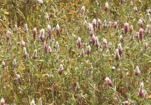 תלתן דו-גוני Trifolium dichroanthum Boiss.