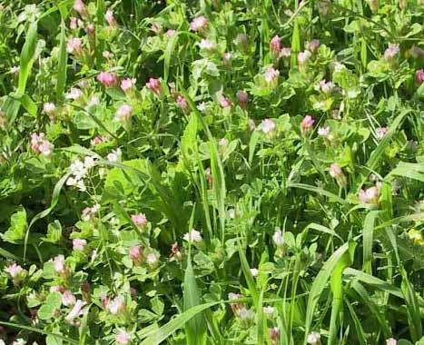 תלתן צמיר Trifolium eriosphaerum Boiss.