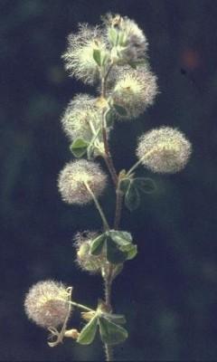 תלתן הכדורים Trifolium pilulare Boiss.
