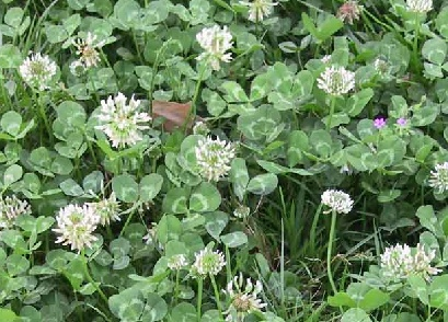 תלתן זוחל Trifolium repens L.