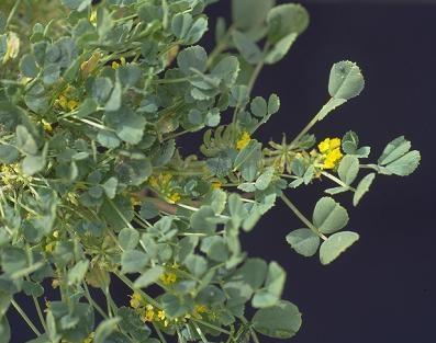 Trigonella stellata Forssk.
