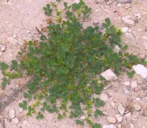 צמחי מדבר קרחים או מקריחים, צבעם ירוק בהיר. צבע הגבעולים צהבהב והם שרועים וצמודים לקרקע.