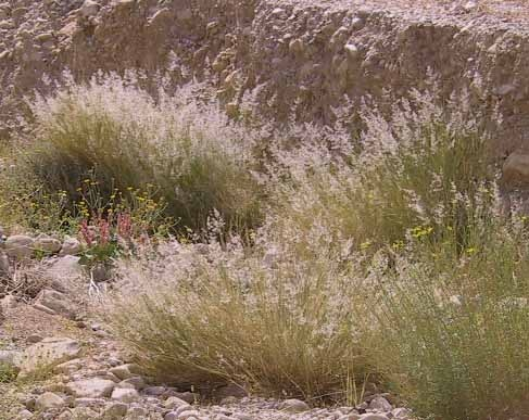 Tricholaena teneriffae (L.f.) Link