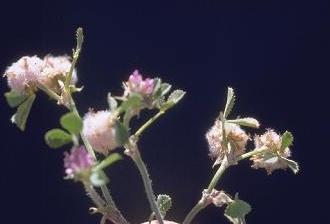 תלתן לביד Trifolium tomentosum L.
