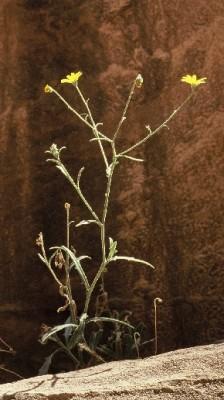 שלוש-כנפות מדבריות Tripteris vaillantii Decne.