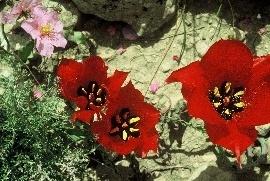 צבעוני המדבר Tulipa systola Stapf