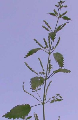 Urtica membranacea Poir.