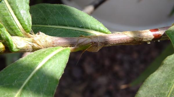 בת-ארכובית מחודדת Persicaria acuminata (Kunth) Gomez de la Maza