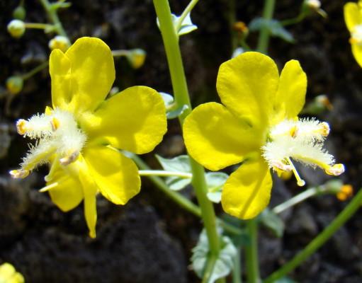 בוצין שונה-עלים Verbascum agrimoniifolium (K.Koch) Hub.-Mor.