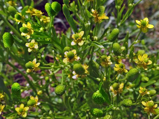 נורית ארסית Ranunculus sceleratus L.