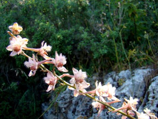 Delphinium ithaburense Boiss.