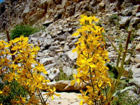 פרע לבנוני Hypericum libanoticum N.K.B.Robson