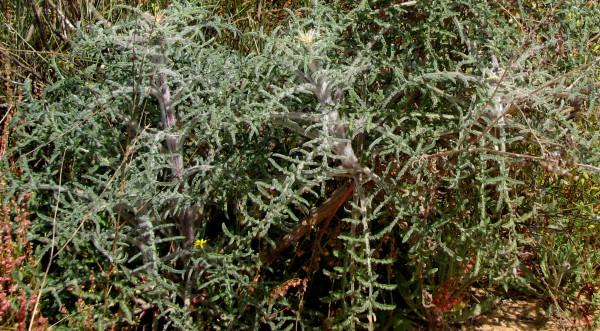Centaurea procurrens Spreng.