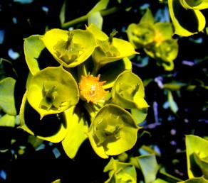 עלי-מעטפת הסוכך והמעטפת שמתחת לכוסית צהובים ובולטים בעת הפריחה.