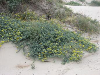 רב-שנתיים בעלי גבעולים נוקשים הגדלים בקרקעות חוליות בקרבת חוף הים.