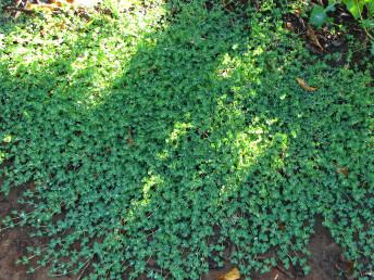 צמחים שרועים, הדוקים לקרקע. הגבעולים הבוגרים ירוקים בהירים, ורודים עד מלבינים.