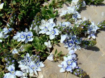 בן-שיח שרוע בחרמון. צבע הכותרת כחול או ולבן. אורך העלים 20-5 מ