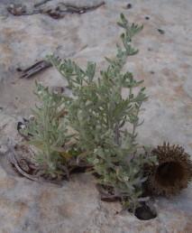 עשבים חד-שנתיים נמוכים, גדלים בקיץ בכיסי קרקע קטנים בסלעי-גיר ים-תיכוניים.