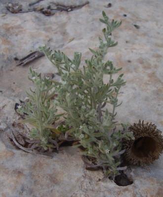 עוקץ-עקרב ארם-צובא Heliotropium myosotoides Banks & Sol.
