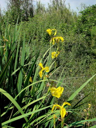 הפרח צהוב-כתום. הגבעול מסועף נושא פרחים אחדים, גובהו (50-) 150-70 ס