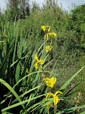 אירוס ענף Iris pseudacorus L.