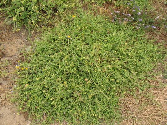 מחרוזת קשתית Enarthrocarpus arcuatus Labill.