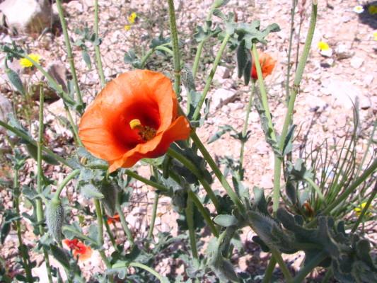 פרגה ערבית Glaucium arabicum Fresen.