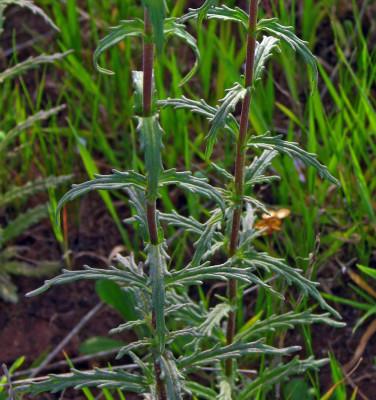עלוק מצוי Bellardia trixago (L.) All.