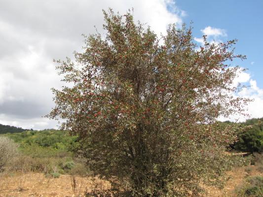 עוזרר אדום Crataegus azarolus L.