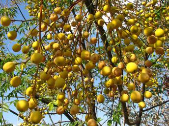 הפירות צהובים כדוריים.