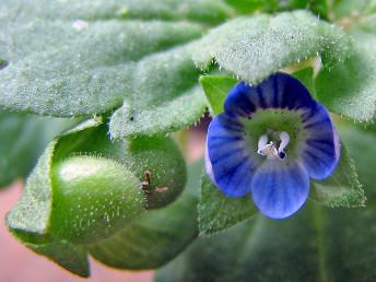 ההלקט שעיר, מכיל 24-16 זרעים.