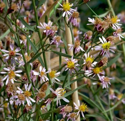 אסתר הביצות Aster tripolium L.