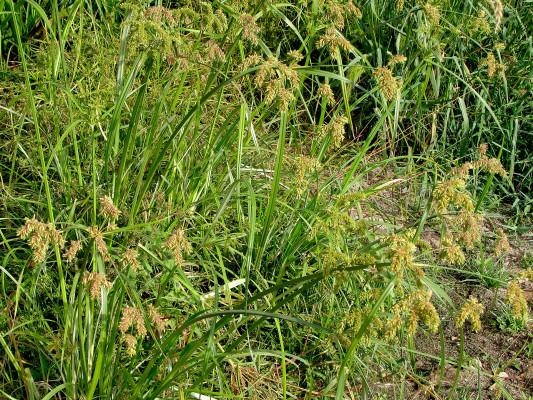 גומא צפוף Cyperus alopecuroides Rottb.