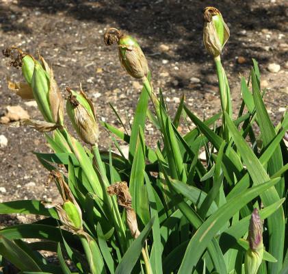 אירוס הדור Iris lortetii Barbey