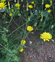 צמחים קירחים, גובהם 60-30 ס