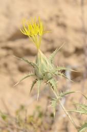 צמחי חולות במדבר. צבע הפרחים צהוב חלמוני.