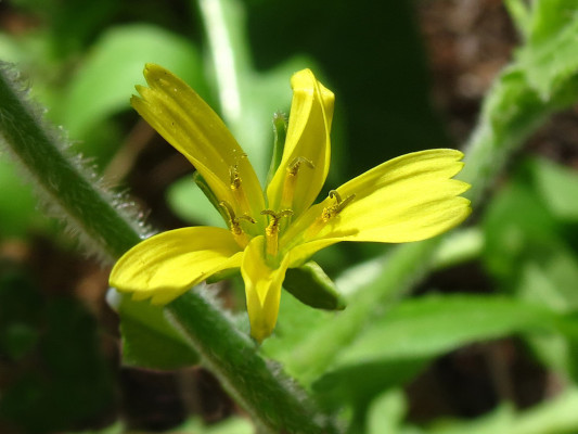 כוכבן נאכל Rhagadiolus edulis Gaertn.