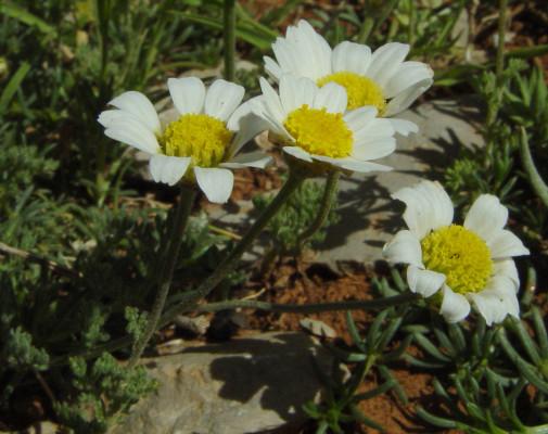 קחוון החרמון Anthemis rascheyana Boiss.