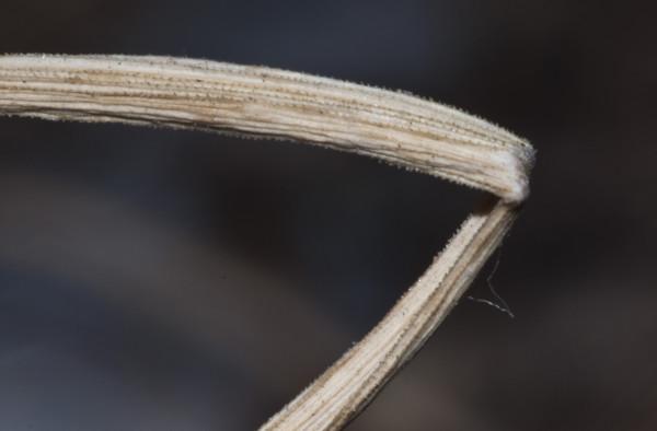 Allium pseudocalyptratum Mouterde