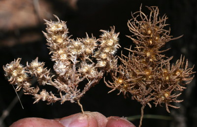מחטנית משובלת מימין מצטיינת בעלים ארוכים יחסית עם גרגירי חול דבוקים עליהם; למחטנית המדבר עלים קצרים ללא חול דבוק