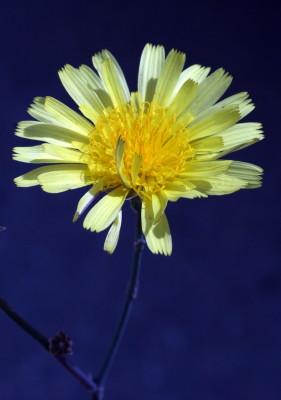 לוניאה שרועה Launaea nudicaulis (L.) Hook.f.