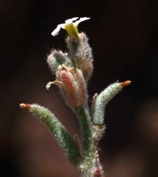 הפרי ישר או כפוף מעט, בעל 4 צלעות ובראשו עמוד-עלי עבה