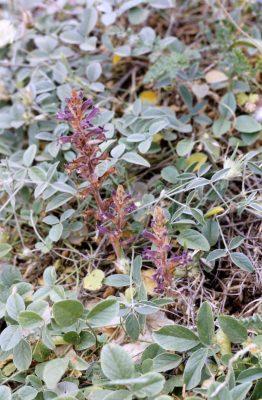 עלקת סגולת-פרחים Orobanche lavandulacea Rchb.