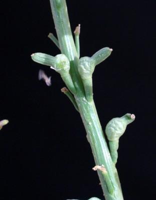 חרטומית ערבית Schimpera arabica Hochst. & Steud. ex Steud.