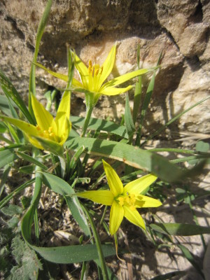 זהבית אשונה Gagea fibrosa (Desf.) Schult. & Schult.f.