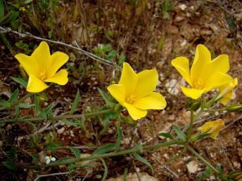 התפרחת בת שני פרחים או יותר.