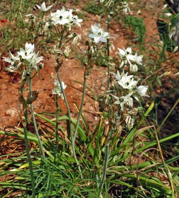 נץ-חלב ערבי Ornithogalum arabicum L.