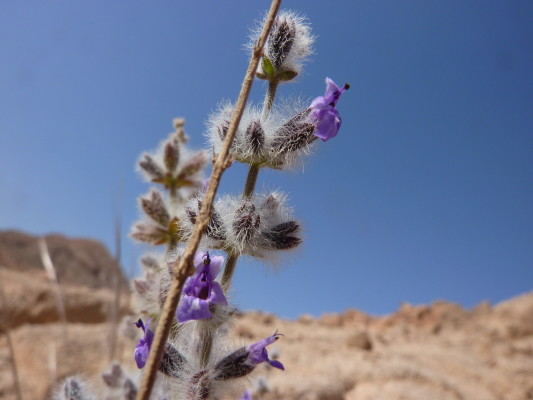 מרוות המדבר Salvia deserti Decne.
